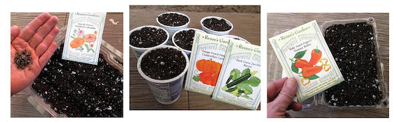 Starting Calendula, Pumpkin, Squash and Pepper seeds in disposable containers