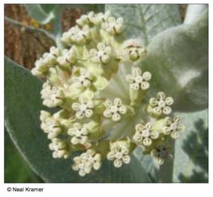 Woolly milkweed (Asclepias vestita)