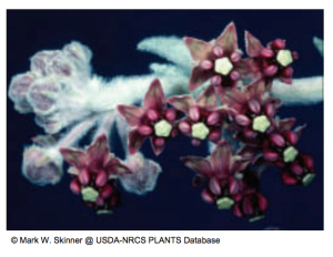 California milkweed (Asclepias californica)