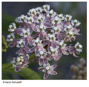 Narrow-leaved milkweed (Asclepias fascicularis)